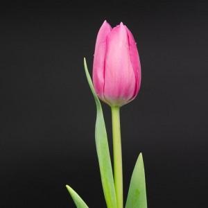 «Розовый Тюльпан»